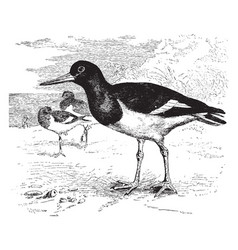 European oyster catcher vintage vector