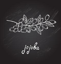 Hand drawn jojoba vector