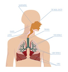 Human respiratory system in vector image