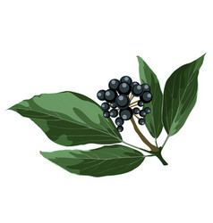 Blue berry realistic branch hand drawing vector