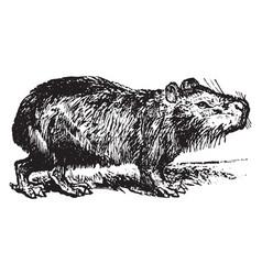 Capybara vintage vector