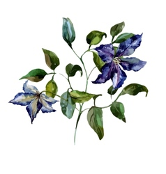 Clematis flower vector