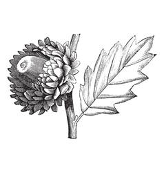 Valonia Oak vintage engraving vector image