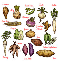 Exotic vegetables beans and tubers sketches vector