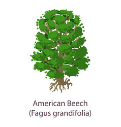 american beech icon flat style vector image
