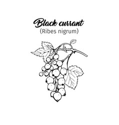 Black currant freehand ink pen vector