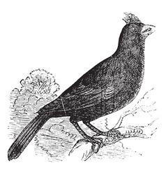 Cardinal of Virginia engraving vector image