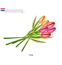 tulip flowers the national flower of netherlands vector image