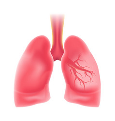 Realistic lung eps10 vector
