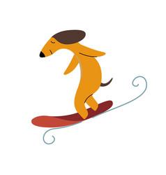 Purebred brown dachshund dog surfer catching wave vector