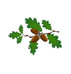 green oak branch with acorns volumetric drawing vector image