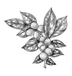 Coffee branch with leaf berry coffee bean fruit vector