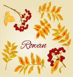 Rowan leaves and berries natural vector