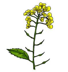 Mustard plant branch drawing botanical vector