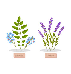 Olibanum and lavender set vector