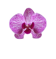 flower beautiful purple orchid on a white vector image