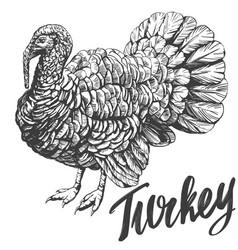 Turkey domestic fowl hand drawn vector