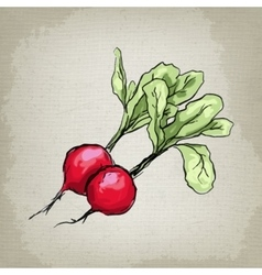 Fresh radishes vector