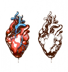anatomical heart vector image vector image