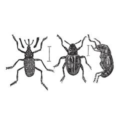 Weevil vintage engraving vector image vector image