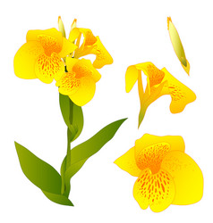 yellow canna indica - canna lily indian shot vector image vector image