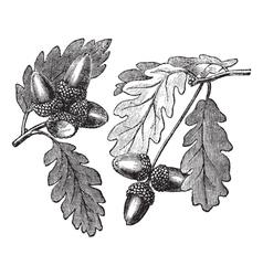 English Oak vintage engraving vector image vector image