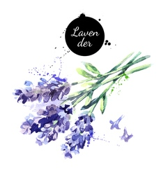 Watercolor hand drawn bunch lavender flowers vector