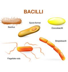 Bacillii vector image