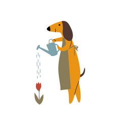 Purebred brown dachshund dog watering flowers with vector