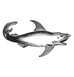 white shark vintage vector image vector image