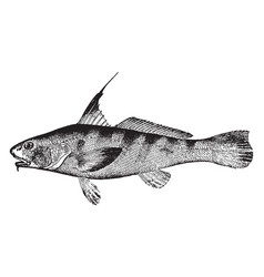 King whiting vintage vector