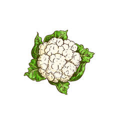 Cauliflower cabbage large immature flower head vector