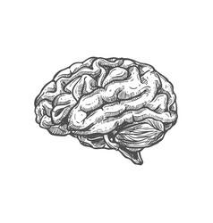 human brain sketch icon internal organ vector image