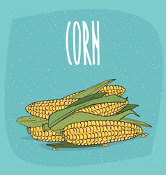 Isolated ripe whole corn ears or cobs with leaves vector