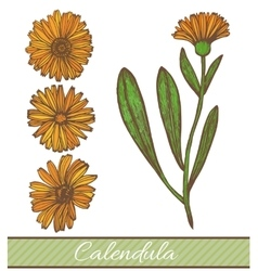Hand drawn colored calendula vector