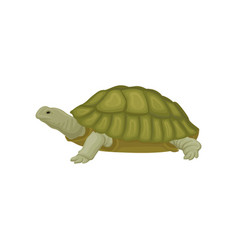 Turtle reptile animal on a vector