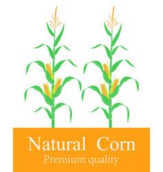 corn stalk vector image