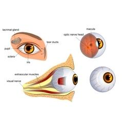 anatomy of the eye the eyeball irispupil vector image