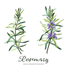 Rosemary watercolor vector