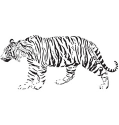tiger - black and white vector image vector image