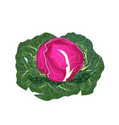 Fresh Purple Cabbage on A White Background vector image