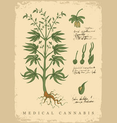 Hand drawn botanical with a cannabis vector