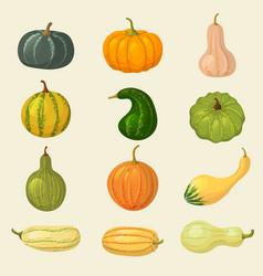 Squash vegetable organic plants autumn eating vector
