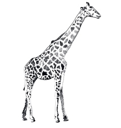 Hand drawn of Giraffe on white vector image