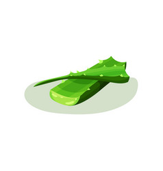 bright green leaves of aloe vera succulent plant vector image