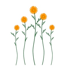 Orange Daisy Blossoms on A White Background vector