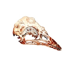 Bird Skull vector image