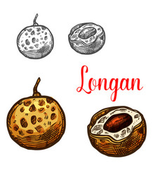 longan fruit sketch of asian exotic tropical berry vector image