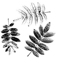 Set of rowan leaves silhouettes vector