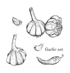 Garlic ink sketches set vector image vector image